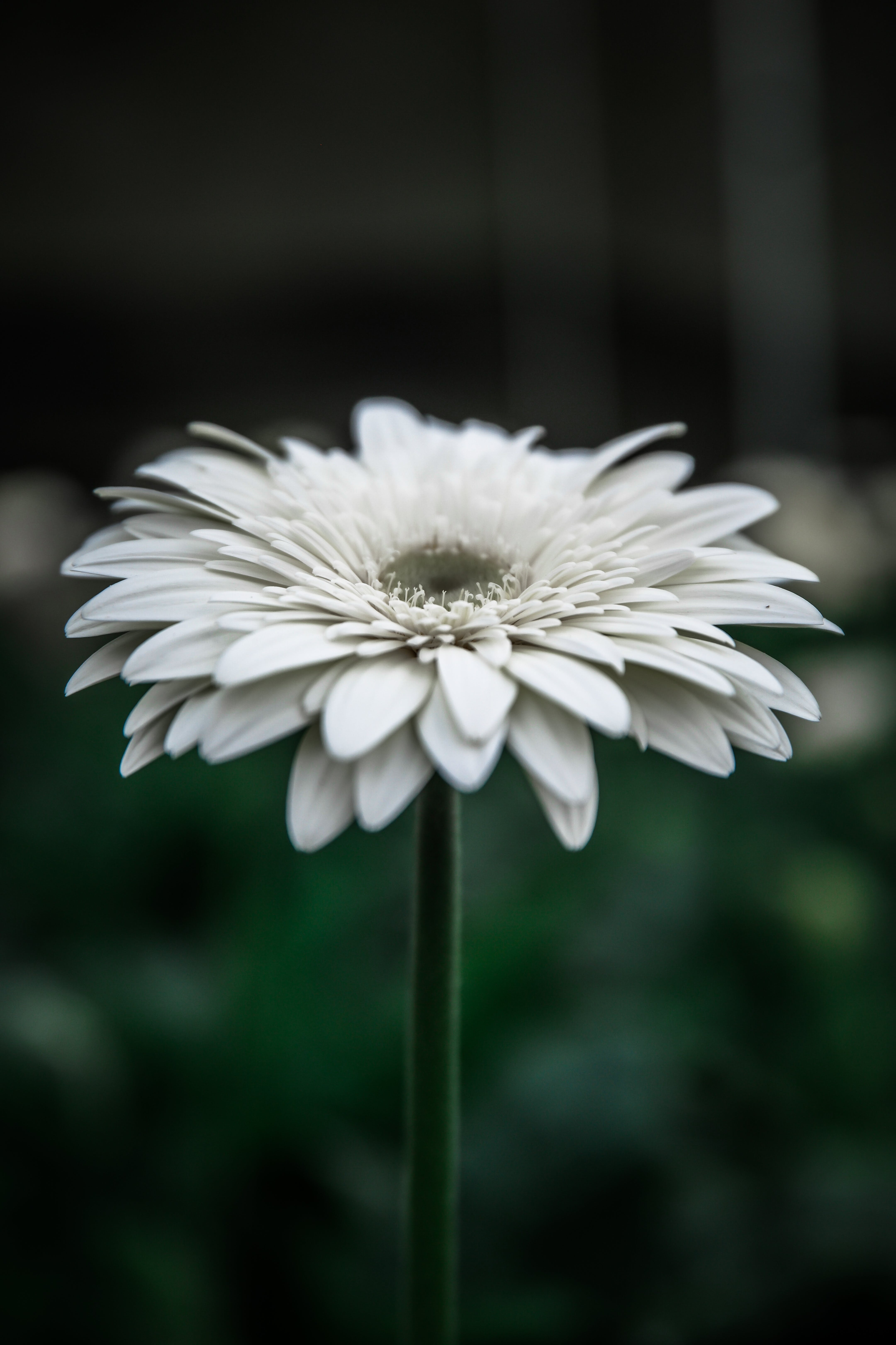 White Gerbera Daisy in Bloom Selective Focus Photography