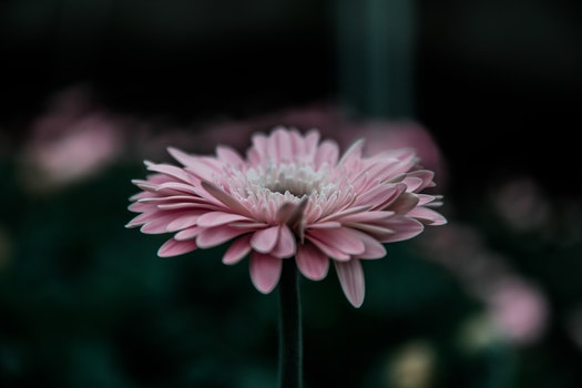 Free stock photo of flower, pink