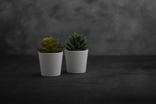 Two Green Succulent Plants in White Pots