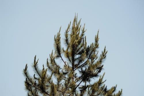 Fotobanka sbezplatnými fotkami na tému borovica, ihličnan, modrá obloha, strom