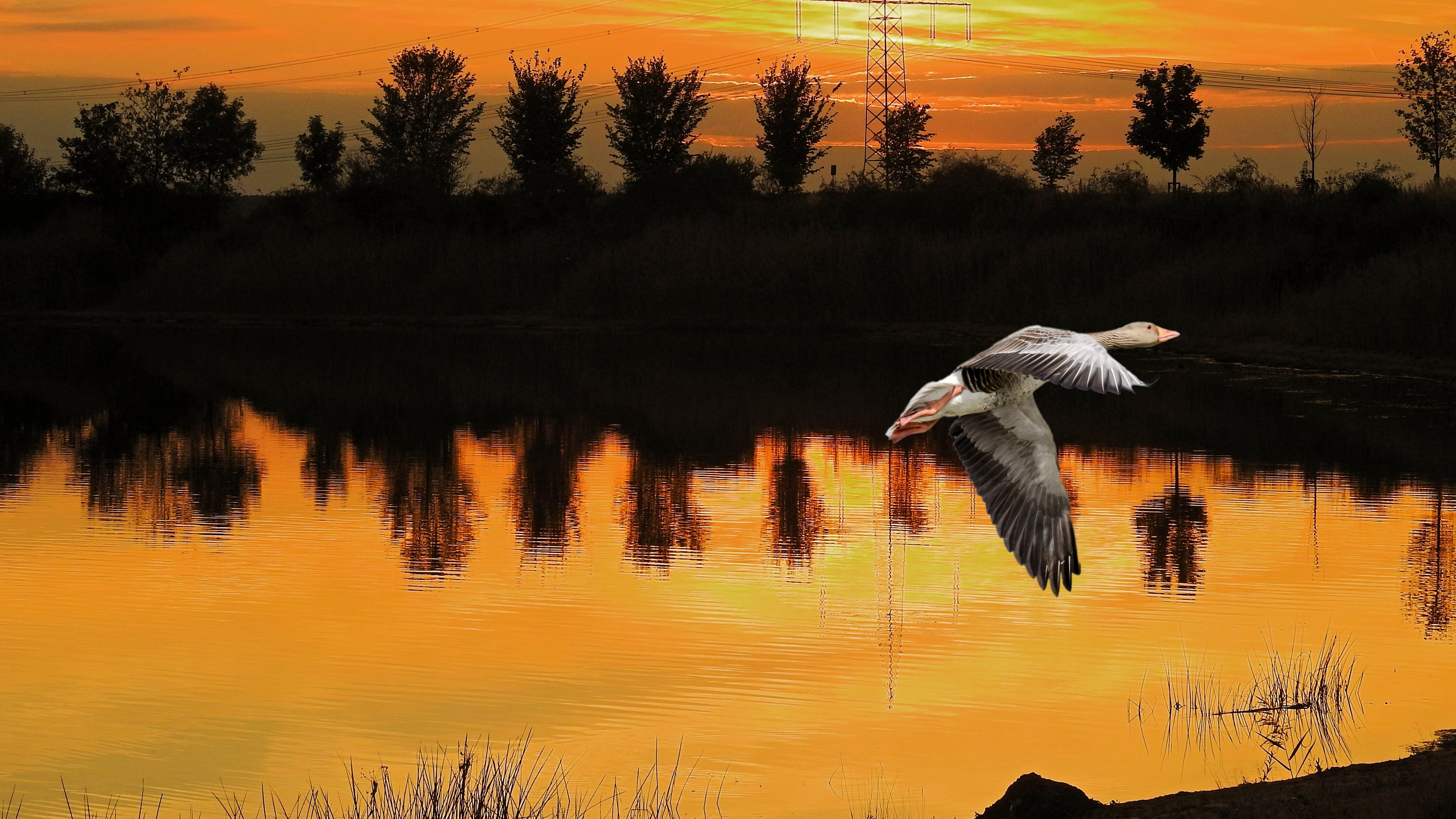 Free stock photo of elbaue, evening sky, goose, greylag goose