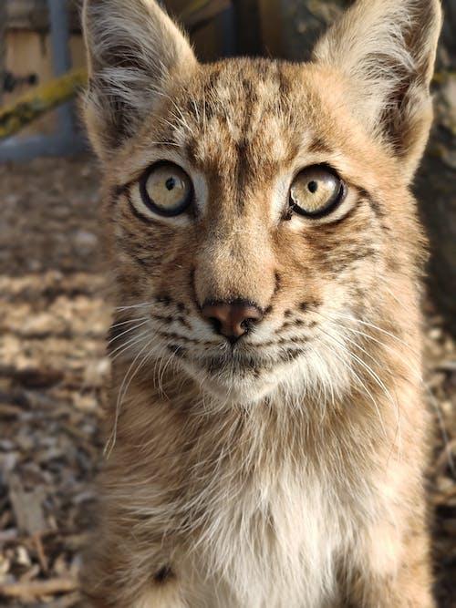 Free stock photo of lynx