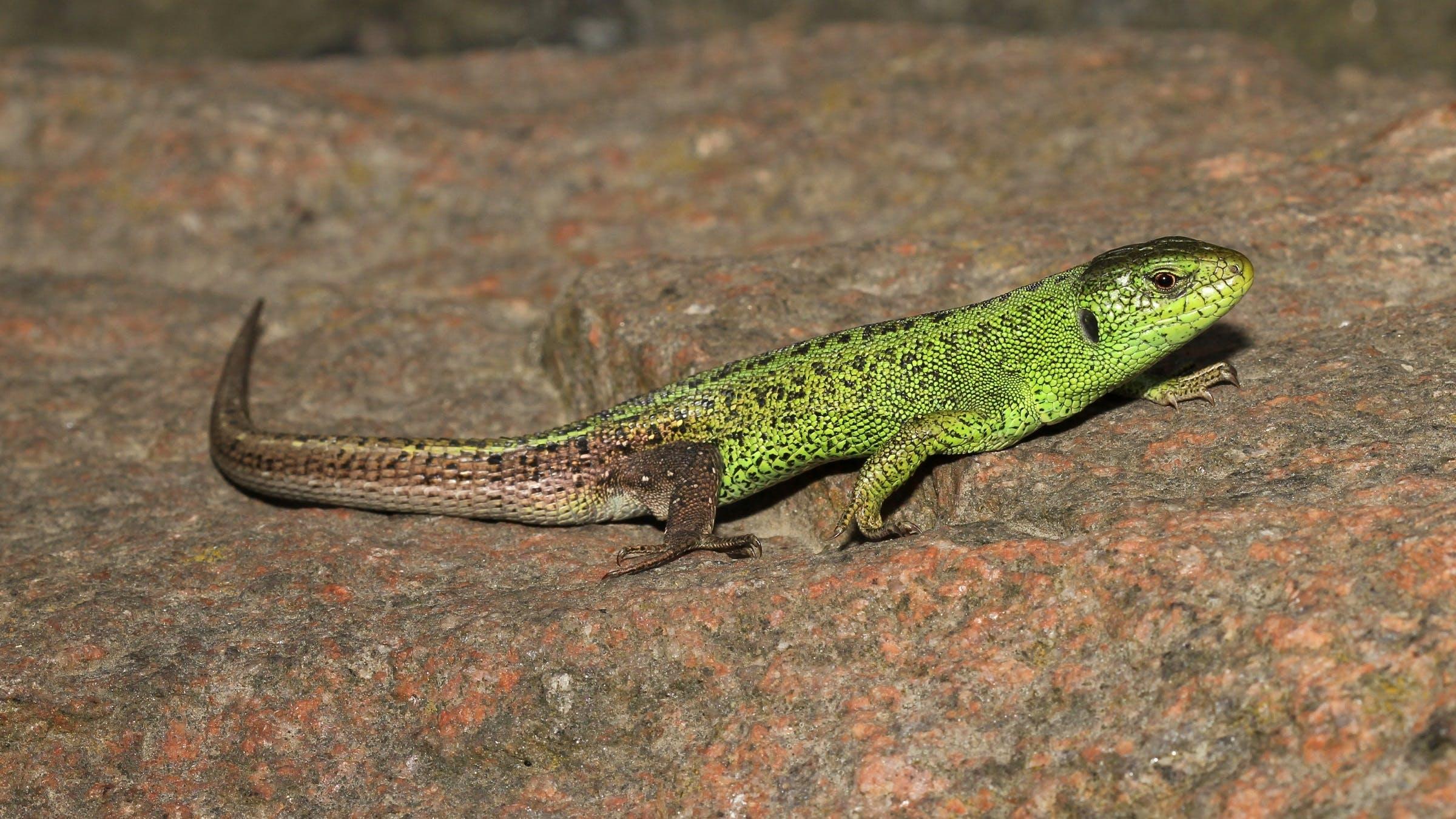 Free stock photo of animal, close up, lacerta agilis, looking