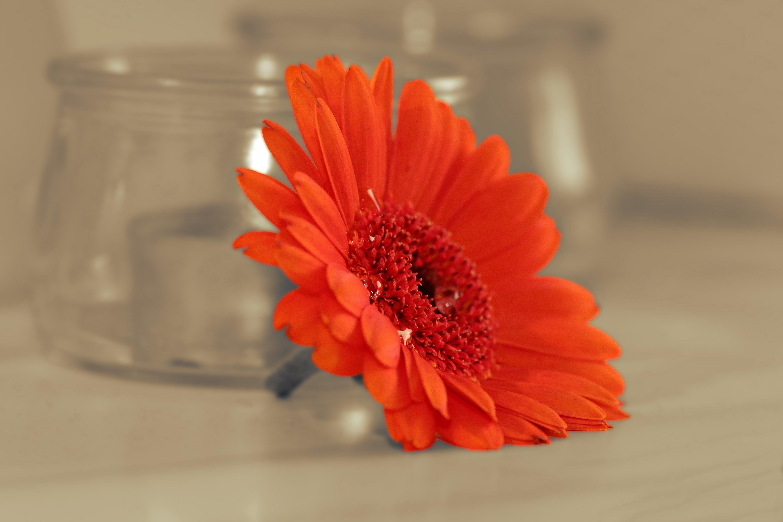 Free stock photo of plant, colorful, orange, flower