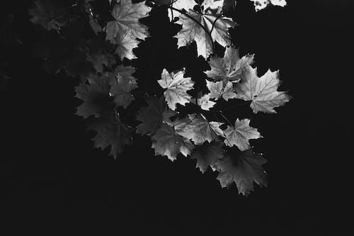 Foto d'estoc gratuïta de auró, blanc i negre, branques, es va esvair