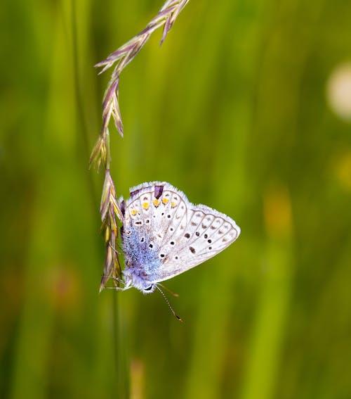 Immagine gratuita di azzurro, blu comune, erba, farfalla