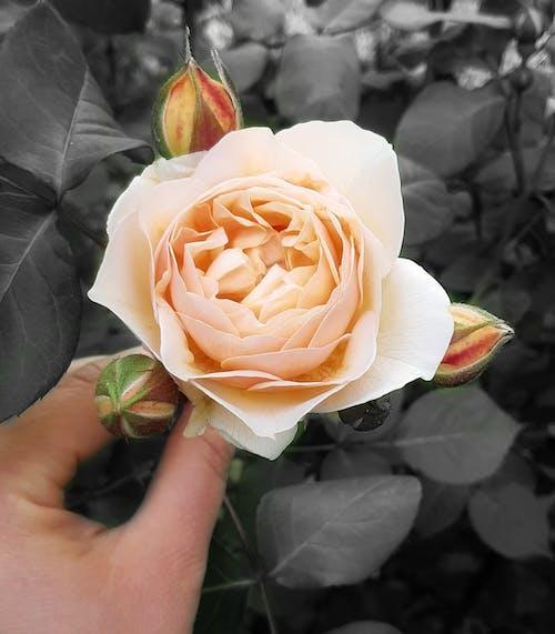 Immagine gratuita di albicocca, boccioli, colore selettivo, mano