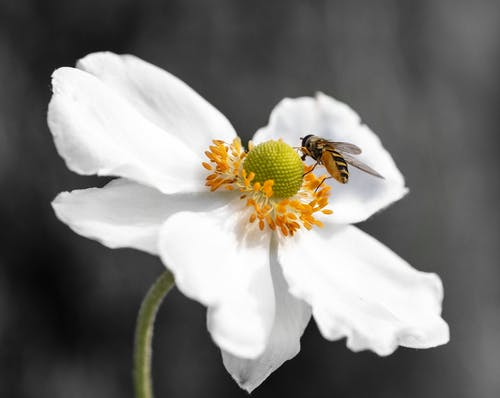 Immagine gratuita di anemone, bianco, colore selettivo, fiore