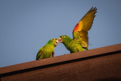 Δωρεάν στοκ φωτογραφιών με μητέρα φύση, ομορφιά της φύσης, Παπαγαλάκι, παρατήρηση πουλιών