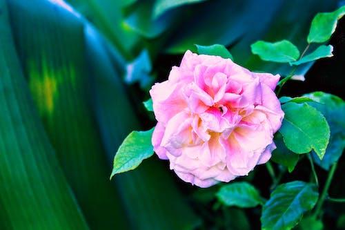 Foto profissional grátis de botões de rosa, de flores, floral, flores. flora