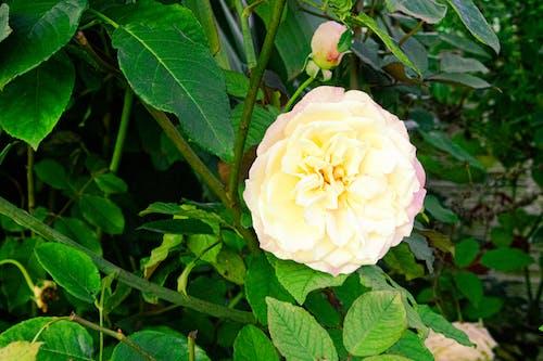 Foto profissional grátis de botão de flor, botão de rosa, flores. flora