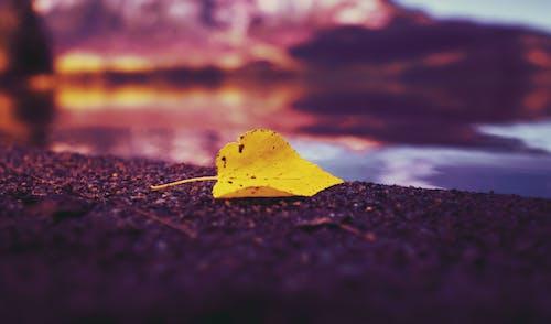 Free stock photo of aspen, autumn, beach, birch