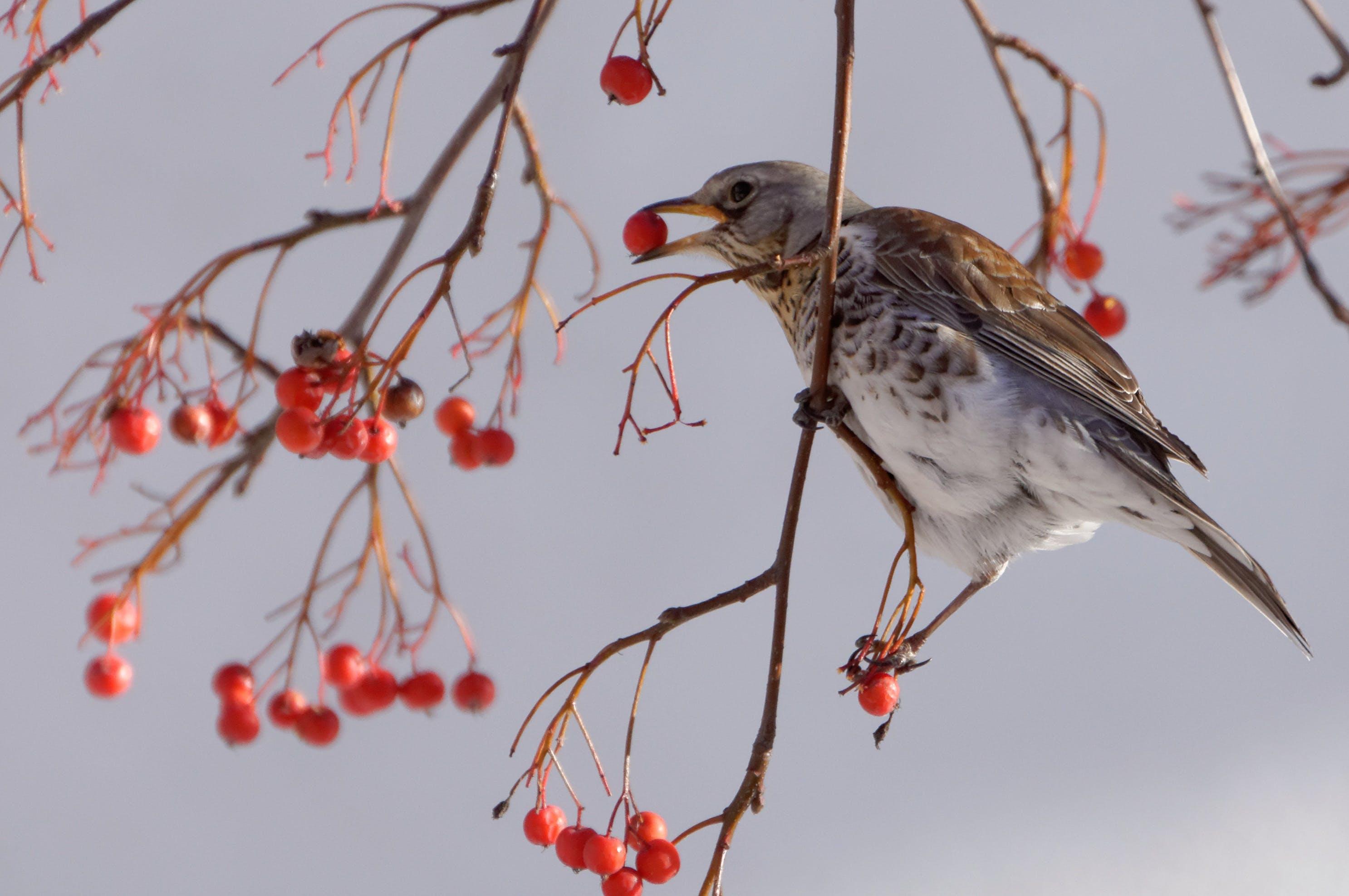 bird, fieldfare, municipal