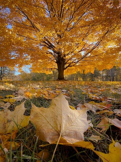 Základová fotografie zdarma na téma javorové listy, listy, podzim, podzimní listí