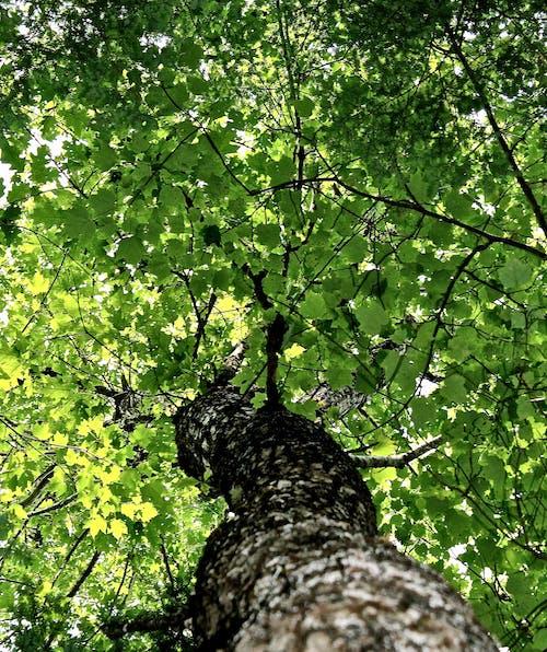 Foto d'estoc gratuïta de arbre, arbre alt, forrest, fulles verdes