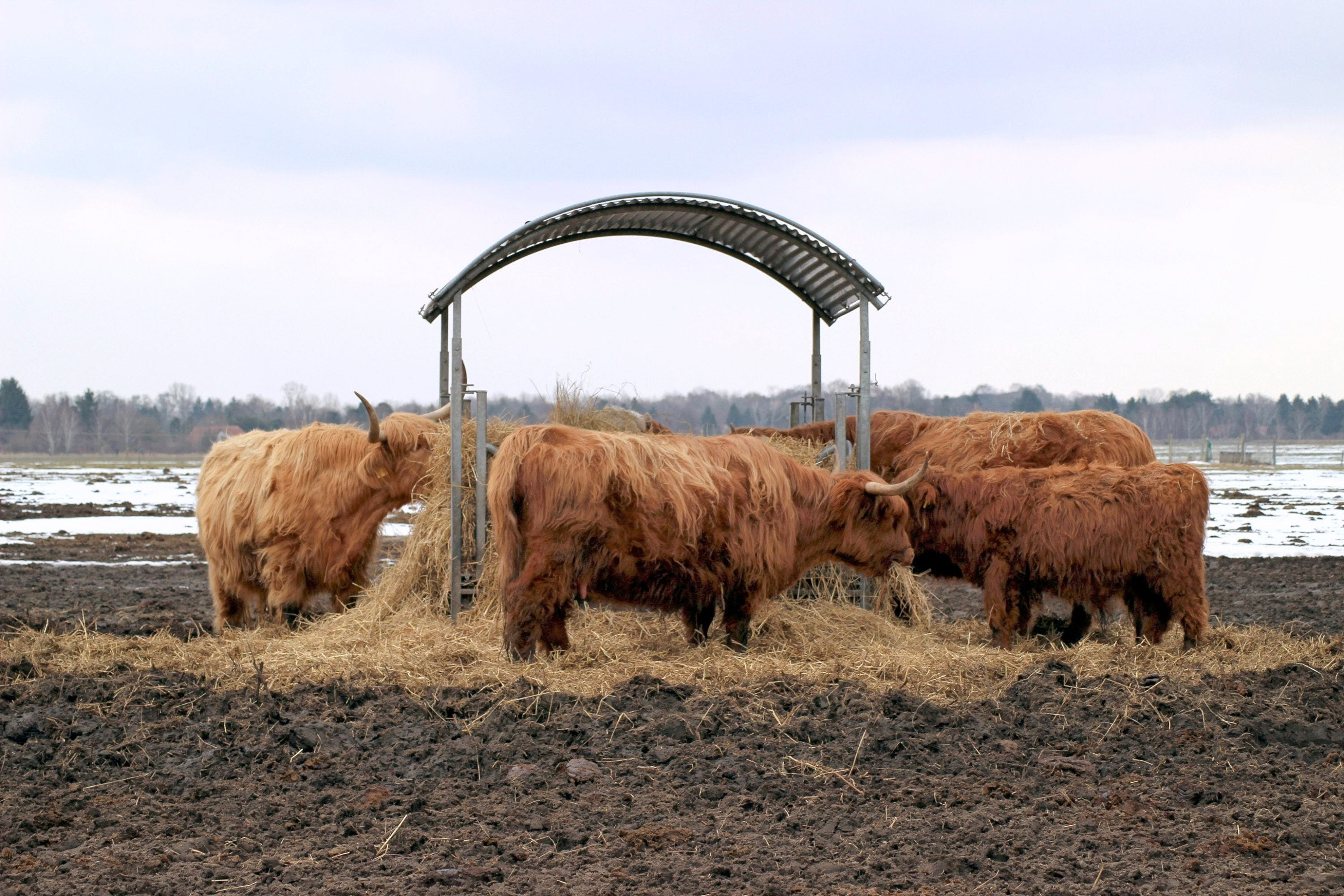 Free stock photo of cattle, cold, cows, eat
