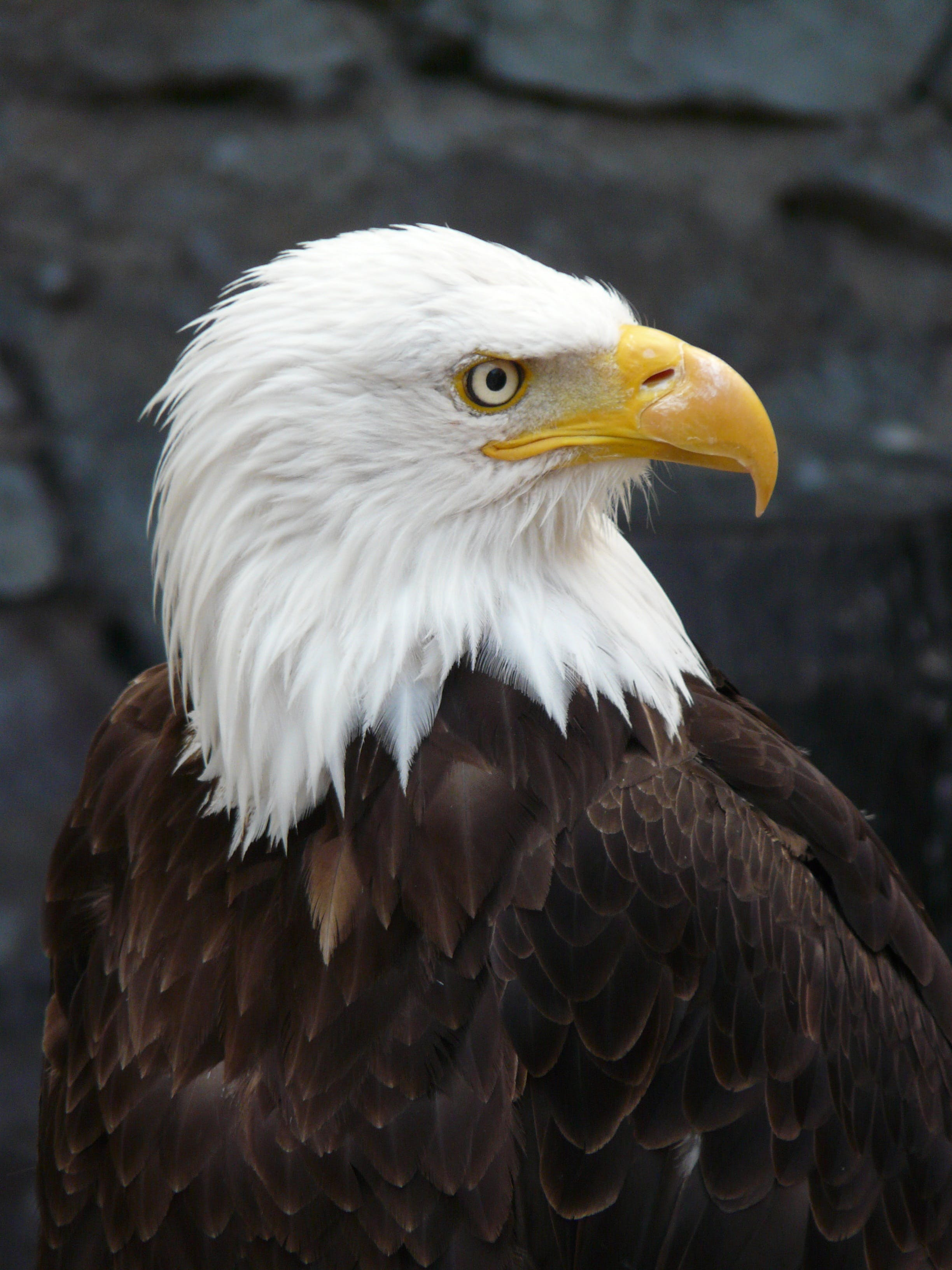 Free stock photo of nature, bird, eagle, raptor