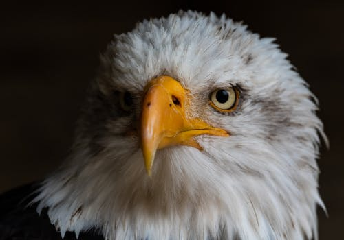 Close-up Photo of Bald Eagle Against Black Background