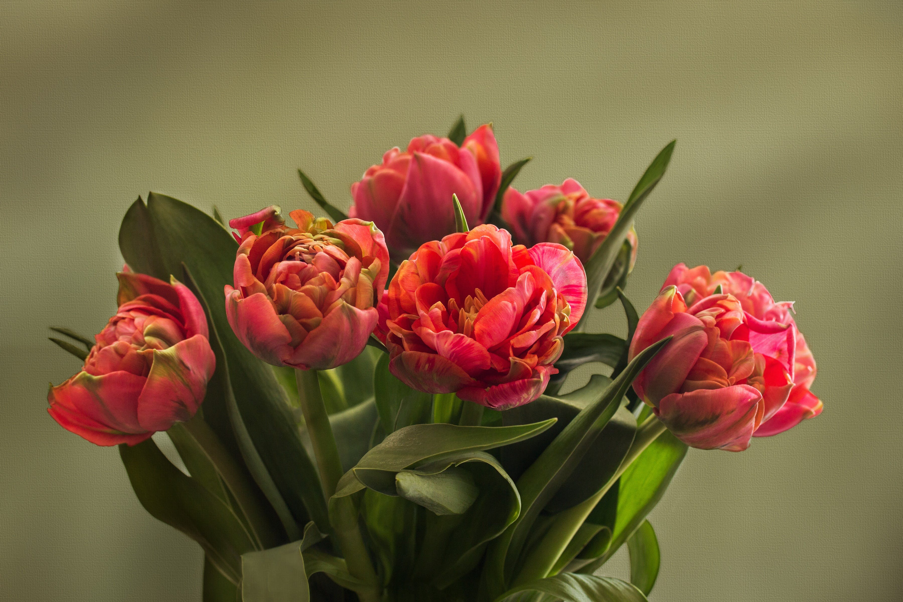 Free stock photo of filled tulips, spring, texture, tulips