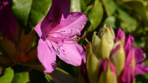 Kostnadsfri bild av rosa blomma