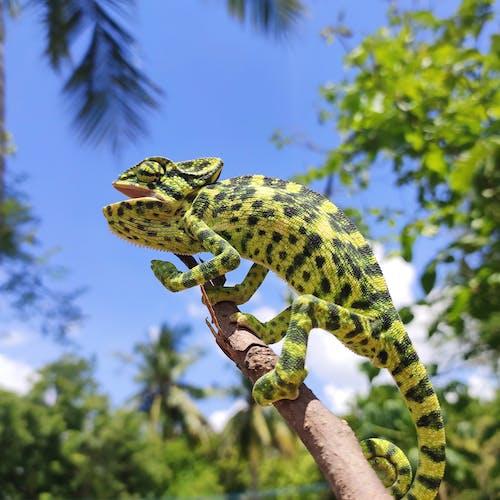 Darmowe zdjęcie z galerii z chamaeleon, dzika przyroda, egzotyczny, fotografia przyrodnicza