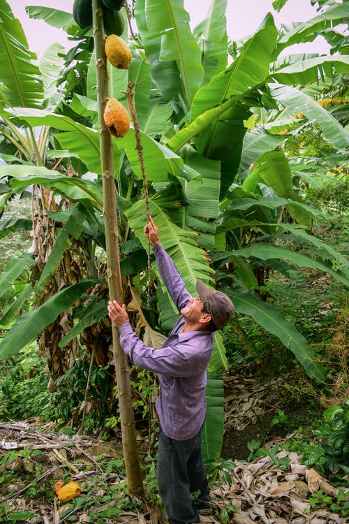 Man Picking a Ripe Papaya