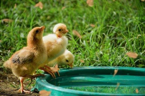 Three Yellow Chicks on Green Plastic Basin