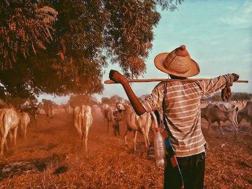 adam, büyükbaş hayvan sürüsü, büyükbaş hayvanlar, çiftçi içeren Ücretsiz stok fotoğraf