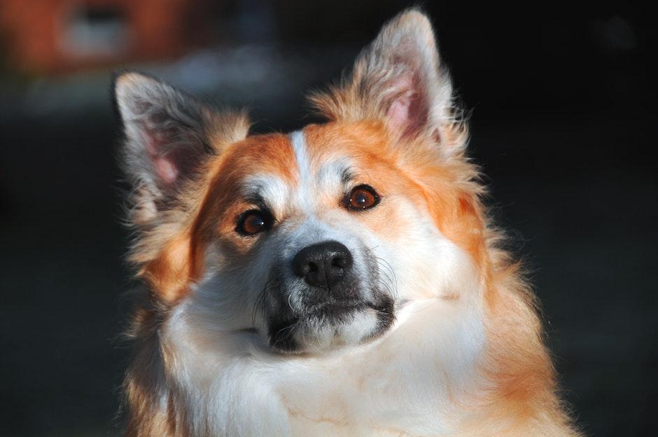dog, dog face, iceland dog