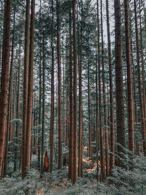 Imagine de stoc gratuită din arbori, arbori veșnic verzi, brad, codru
