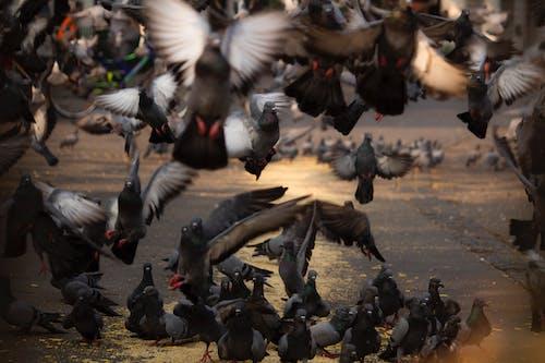 Photos gratuites de oiseaux, pigeon, pigeons