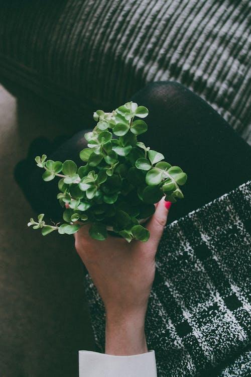 คลังภาพถ่ายฟรี ของ จับ, พืชประดับในบ้าน, พืชสีเขียว, มือ