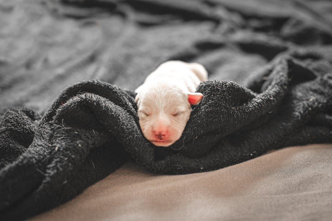 White Coated Puppy