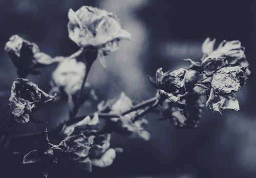 Grayscale Photography Of A Rose Plant