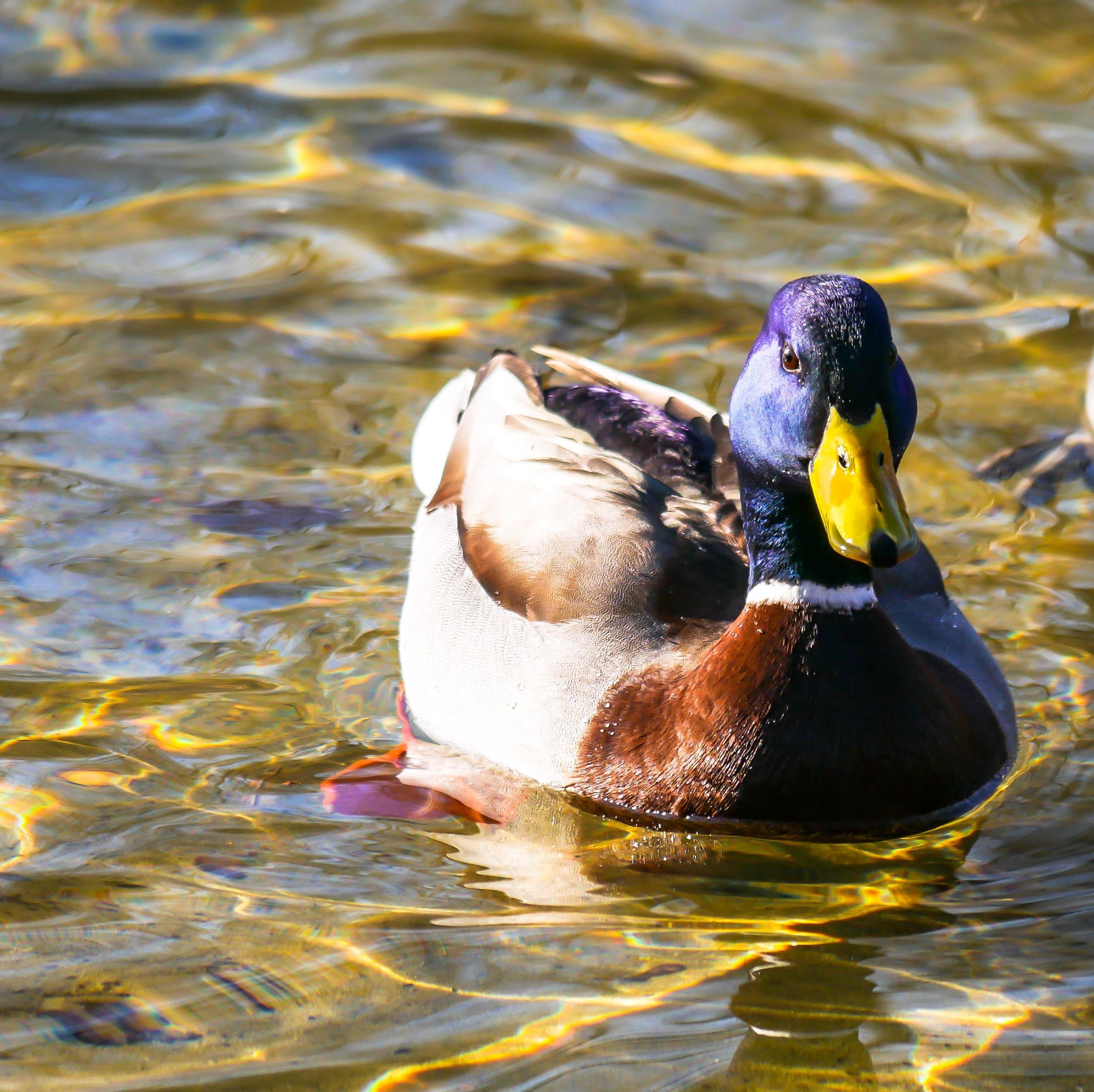 Free stock photo of purple, yellow, animal, duck