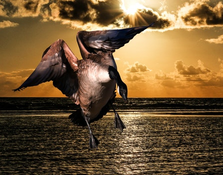 Free stock photo of sea, sunset, bird, water