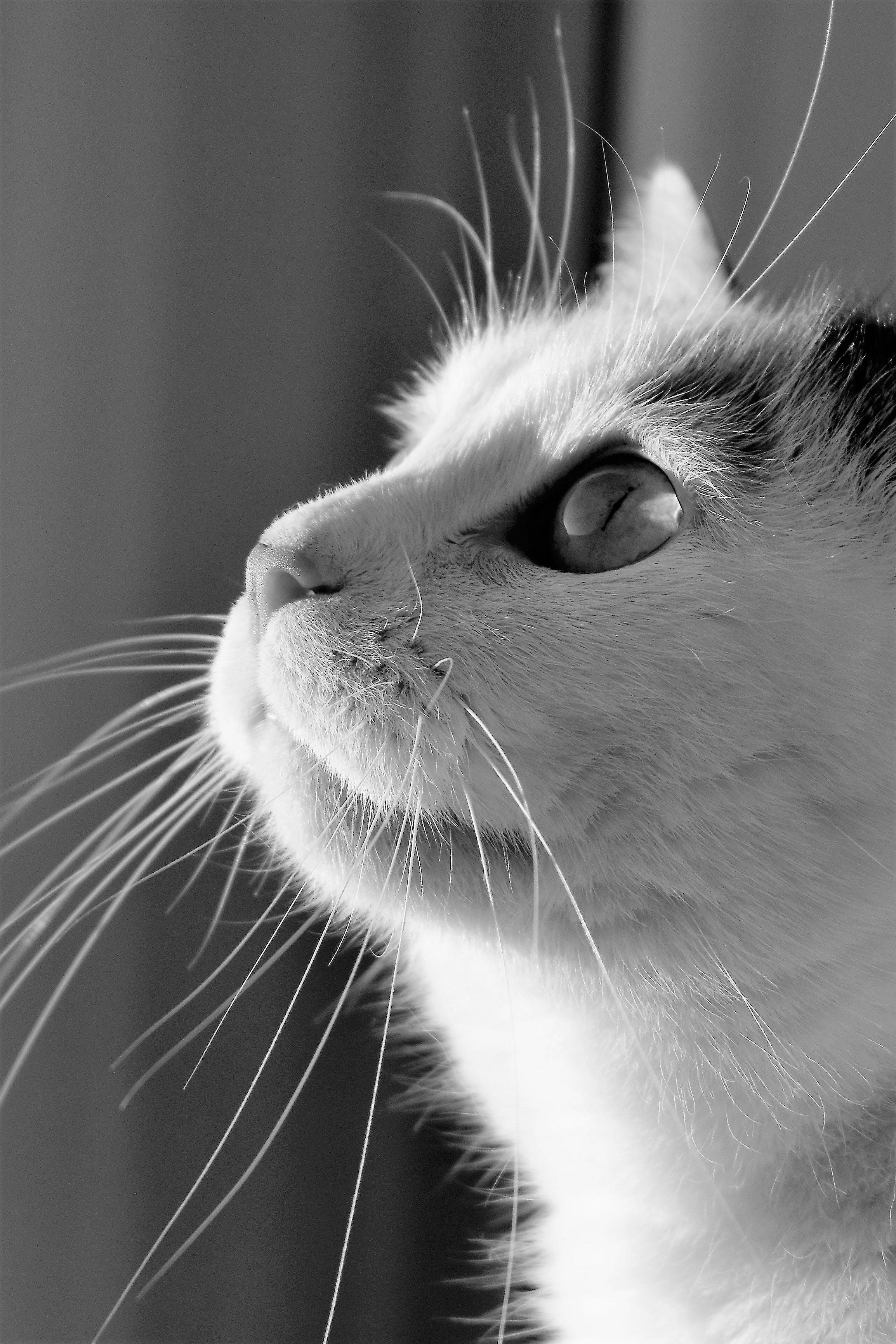 Free stock photo of black-and-white, animal, pet, fur