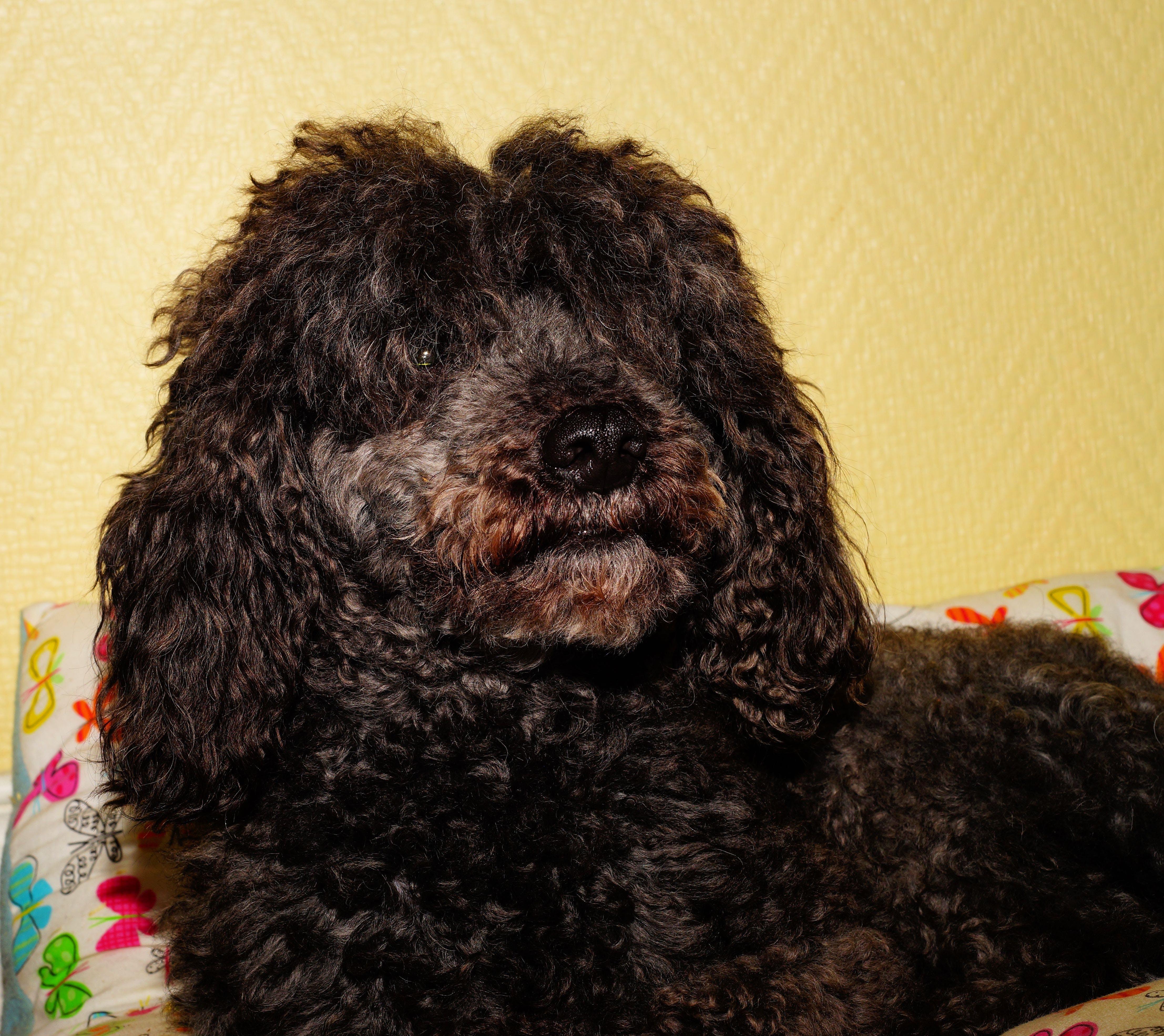 Free stock photo of dog, black, portrait, male