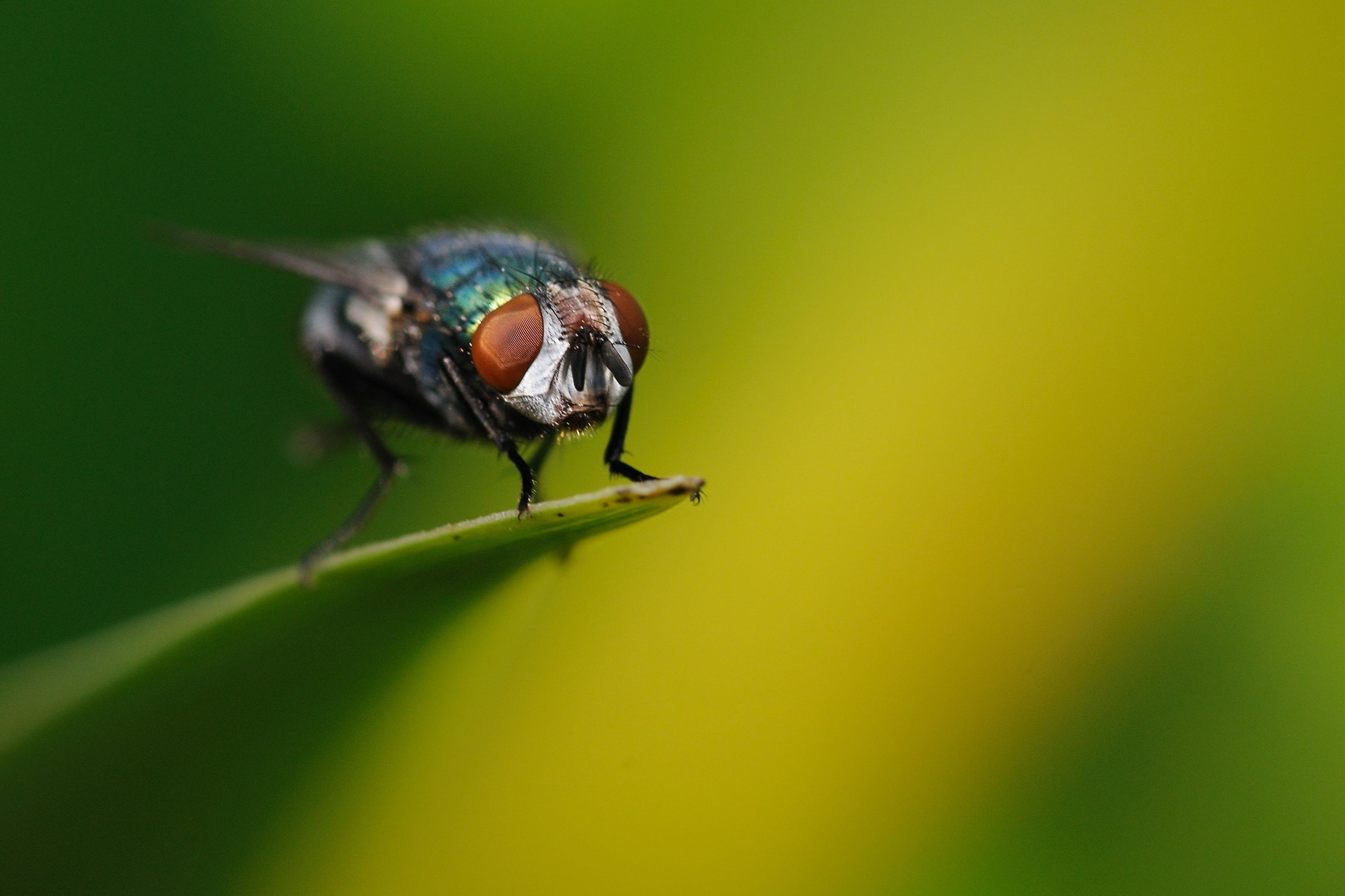 fly, insect, macro