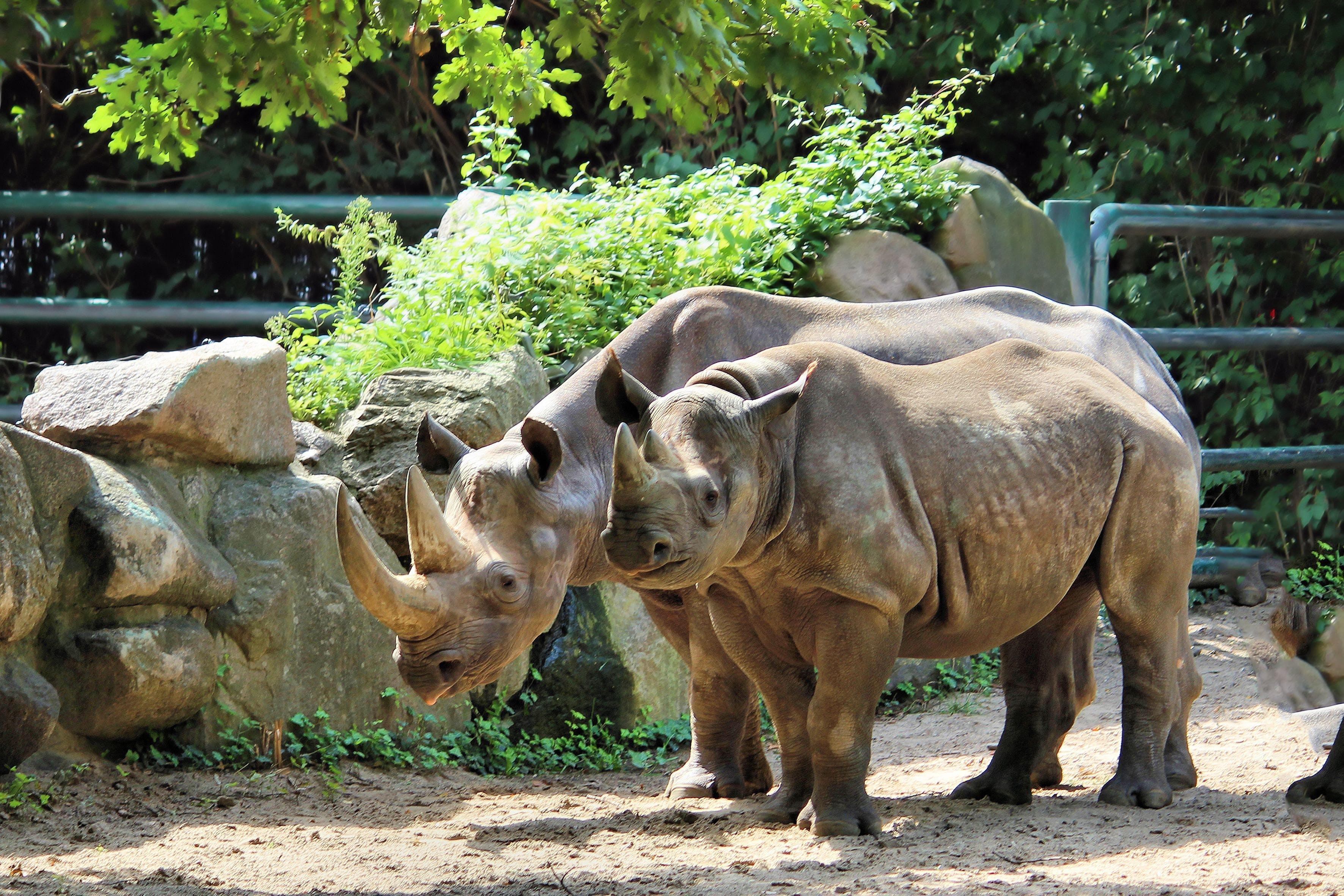 Free stock photo of zoo, horn, rhino, pachyderm