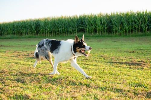 White and Black Short-coated Dog