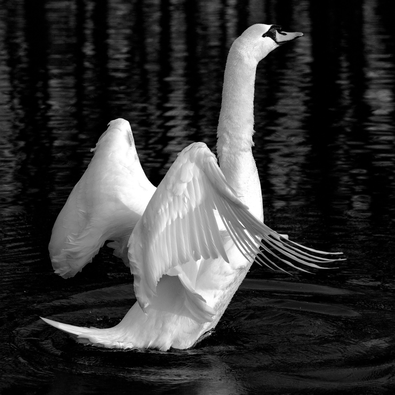Free stock photo of bird, animal, lake, white