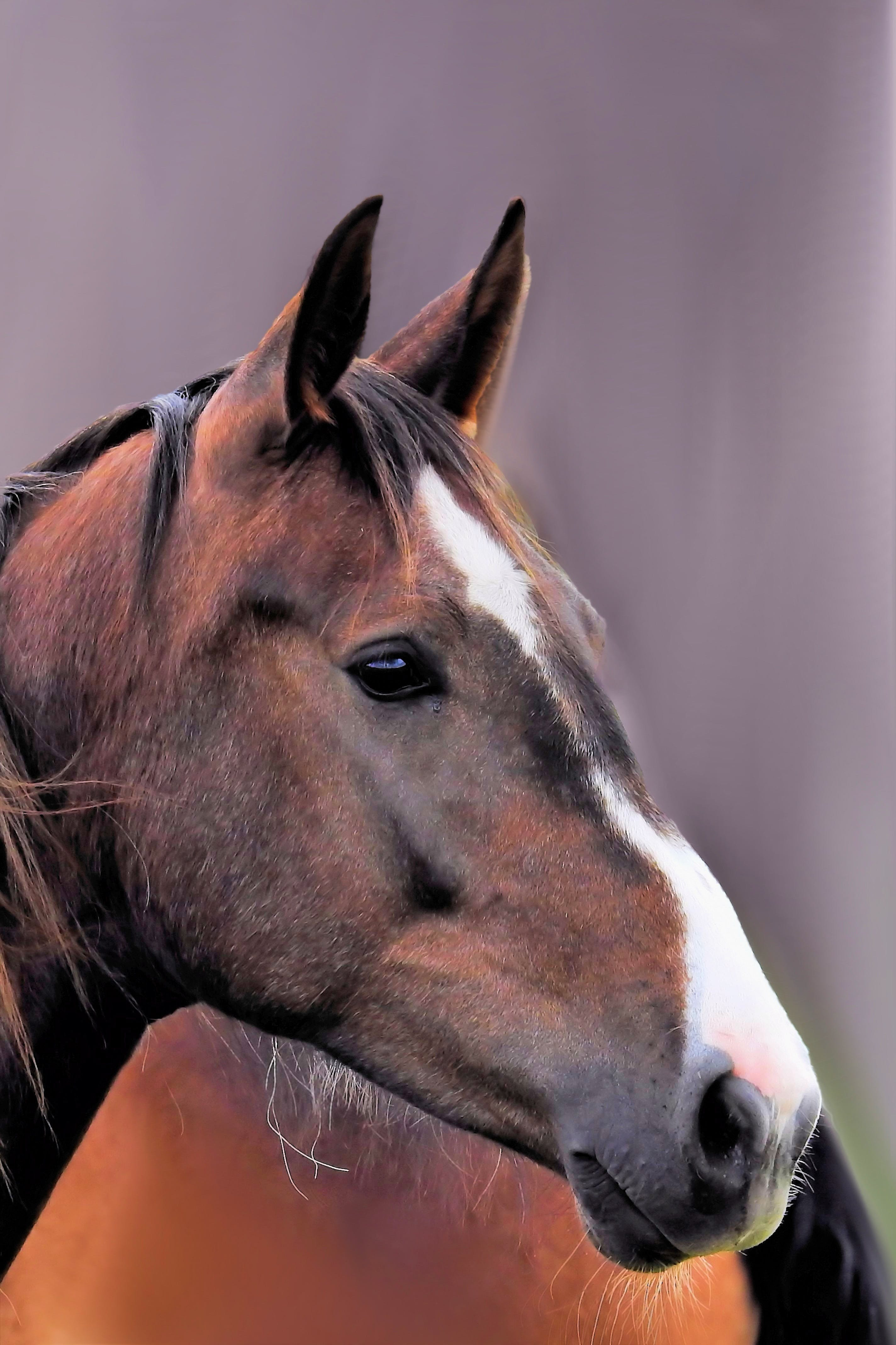Free stock photo of animal, brown, horse, horse head