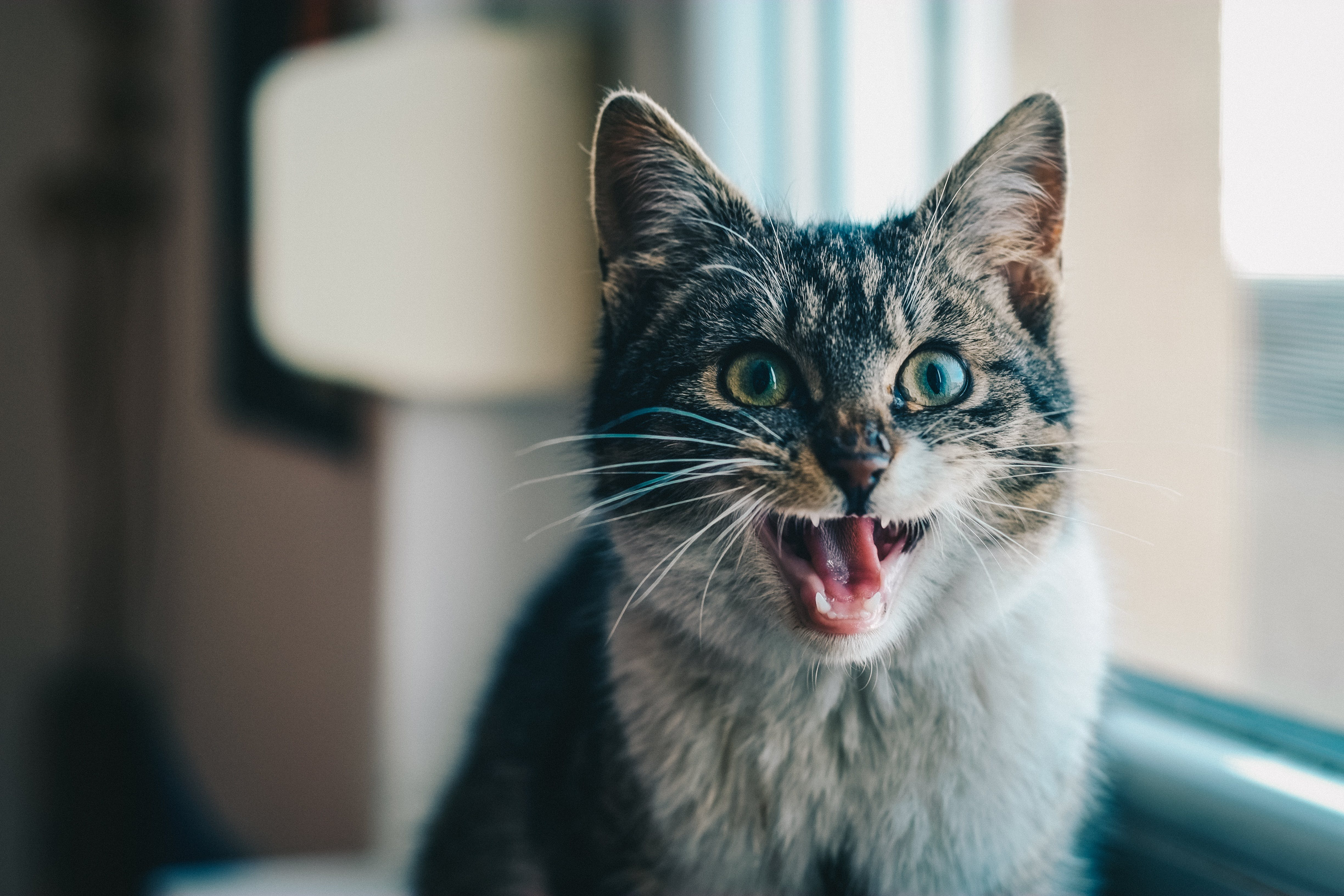 Close-up Portrait of Cat Yawning