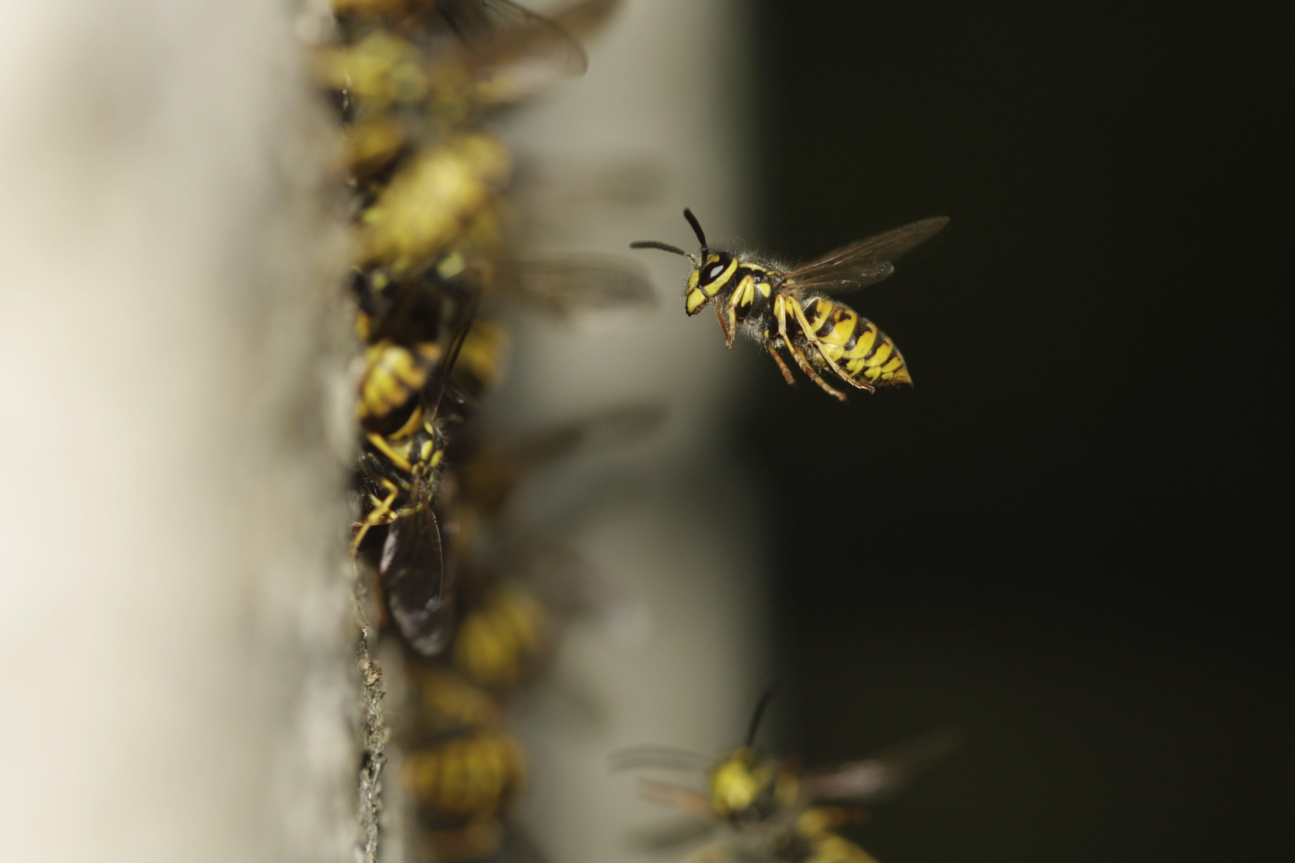 Free stock photo of yellow, black, insect, macro