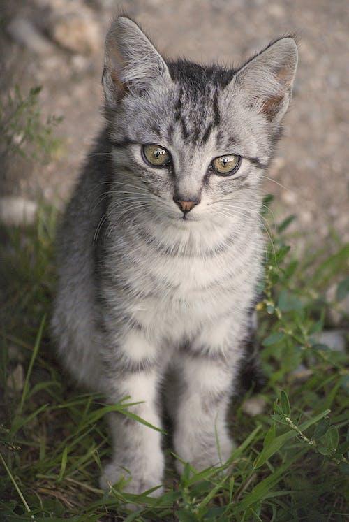 Grey Tabby Kitten Sitting on Grass