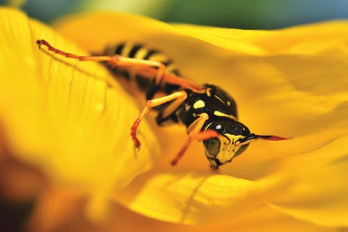 Close-Up Photo of Wasp on Yellow Flower