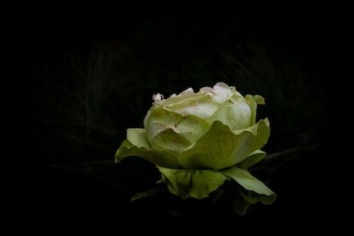 Бесплатное стоковое фото с роза, флора, цветок, черный фон