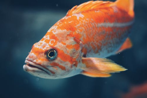 Close-Up Photo of Orange Fish