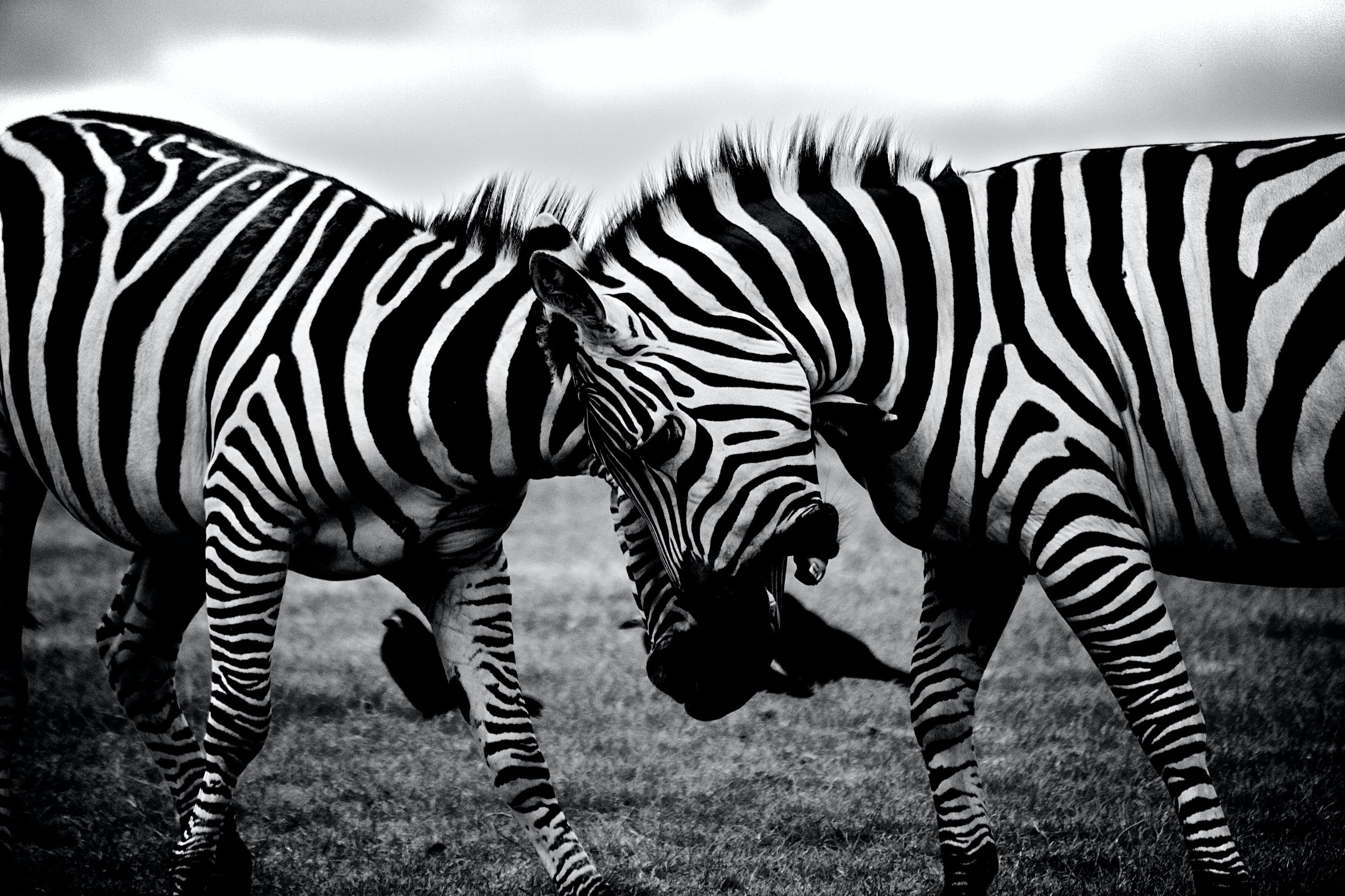 Grayscale Photography of Two Zebra on Standing on Ground